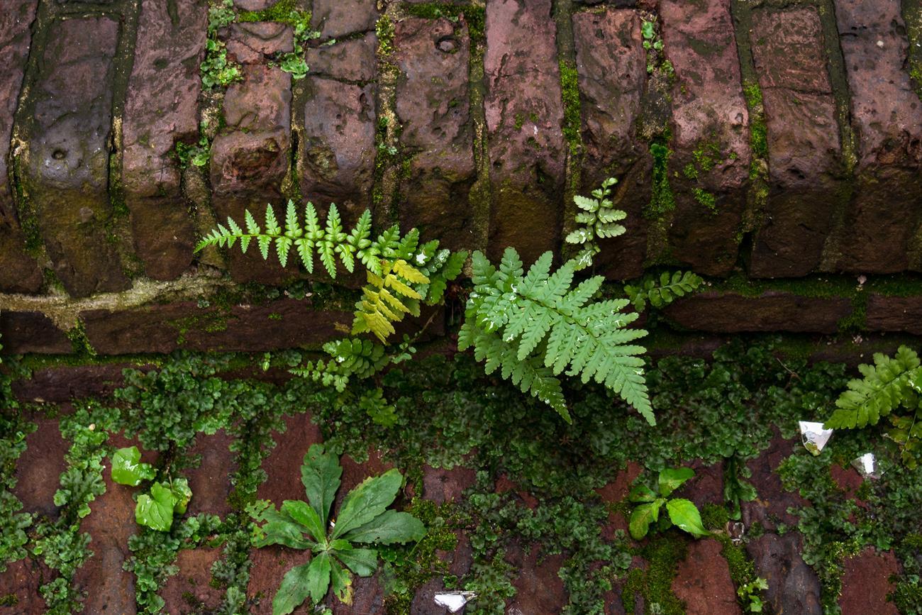 W Utrechcie rośliny mogą rosnąć pomiędzy płytami chodnikowymi i wśród bruku.